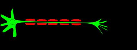 myelin